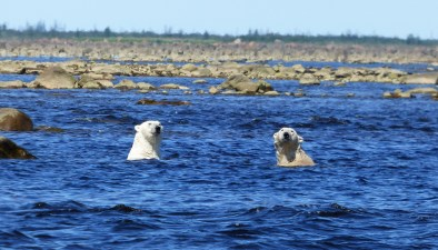 polar-bear-churchill-wild-seal-river-heritage-lodge-steve-herring