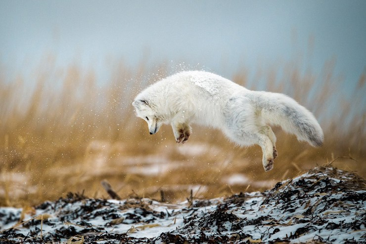 Arctic fox pouncing at Seal River Heritage Lodge. Robert Hlavica photo.