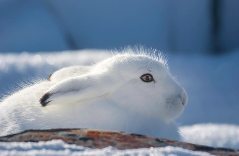 An arctic hare in full winter dressage. Churchill, on the shores of the Hudson Bay, is considered a subarctic ecosystem.
