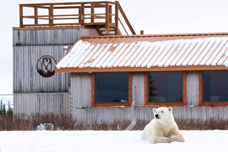 Polar bear relaxing in front of Nanuk Polar Bear Lodge. Andy Skillen photo.