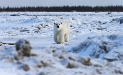 polar-bear-churchill-wild-nanuk-polar-bear-lodge-soren-hansen