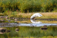 Polar bear takes a cool drink on a hot summer day at Seal River Heritage Lodge. Ted Jacobs photo.