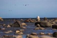 Polar bear walks across the rocks at Seal River Heritage Lodge. Henrik Egede-Lassen photo.
