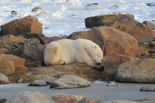 Sleepy polar bear at Seal River Heritage Lodge. Steve McDonough photo.