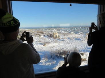 Polar bears sparring outside the windows at Seal River Heritage Lodge.