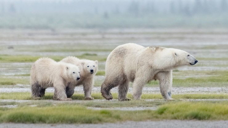 Polar bear family at Nanuk. Photo courtesy of Churchill Wild guest An Xiao. Click image for full album.