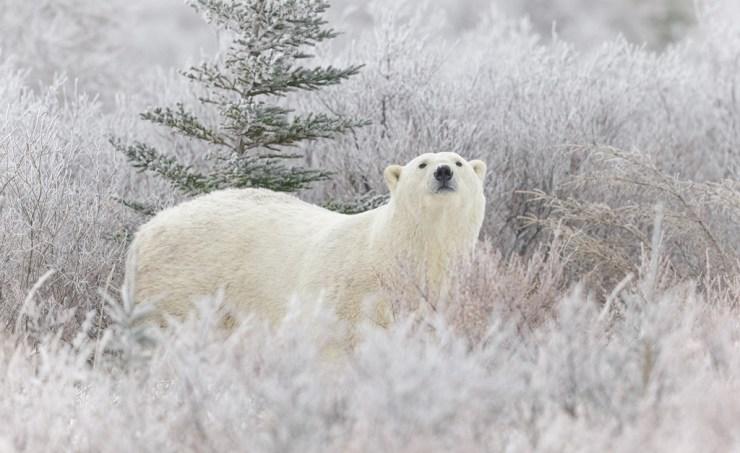 Polar bear in frosty willows at Nanuk Polar Bear Lodge. Charles Glatzer photo.