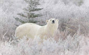 polar-bear-in-frosty-willows-nanuk-polar-bear-lodge-charles-glatzer