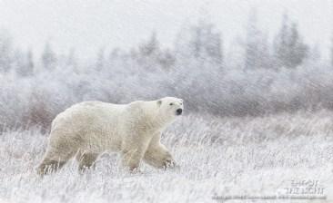 polarbearinsnowchurchillwildcharlesglatzer