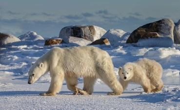 polarbearmomandcubsealriverheritagelodgecharlesglatzer
