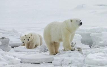 polarbearmomandcubsonicesealriverheritagelodgecharlesglatzer