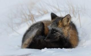 Cross fox at Seal River Heritage Lodge. Charles Glatzer photo.