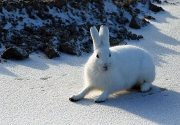 Arctic hare ready for action at Nanuk Polar Bear Lodge.