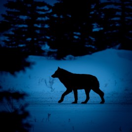 a-wolf-in-the-dark-nanuk-polar-bear-lodge-jad-davenport - Copy