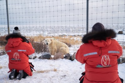 Polar bear outside the compound fence. Seal River Heritage Lodge. Nate Luebbe photo.