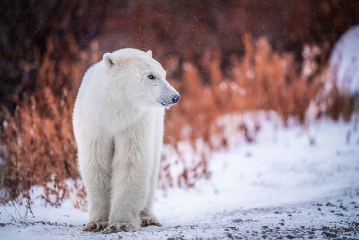 Young polar bear in fall colours. First snow at Nanuk Polar Bear Lodge. Nate Luebbe photo.