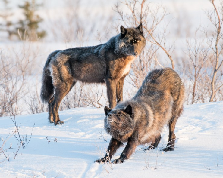 Tawny wolf couple at Nanuk. Jad Davenport photo.