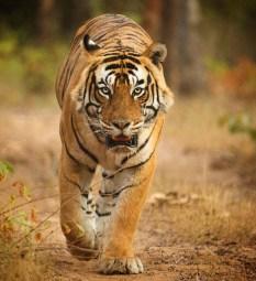 tigerranthamboreanjalisingh