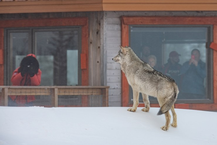 Wolf interacting with guests at Nanuk Polar Bear Lodge. Jad Davenport photo.
