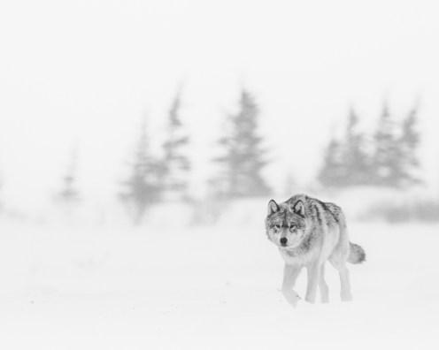 wolf-in-snow-skiff-nanuk-polar-bear-lodge-jad-davenport - Copy