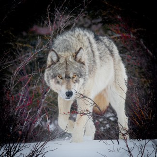 Wolf on the prowl. Nanuk Polar Bear Lodge. Jad Davenport photo.