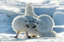 Squabbling Arctic foxes. Seal River Heritage Lodge. Charles Glatzer photo.