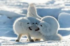 Squabbling Arctic foxes. Seal River Heritage Lodge. Charles Glatzer photo.