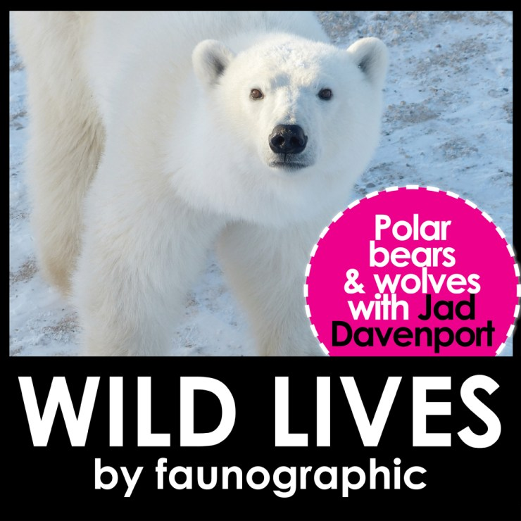 Faunographic WILD LIVES Podcast. Polar bears and wolves with Jad Davenport.