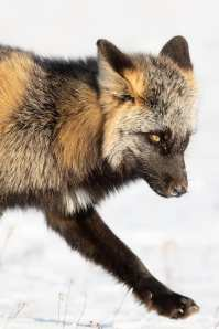 Cross fox. Seal River Heritage Lodge. Charles Glatzer photo.