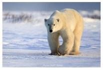 First polar bear for Peter. Polar Bear Photo Safari. Nanuk Polar Bear Lodge. Peter Hall photo.