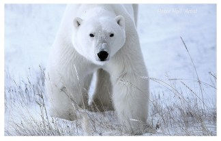 Hungry polar bear. Nanuk Polar Bear Lodge. Peter Hall photo.