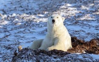 Thinking... Polar bear on bed of kelp. Polar Bear Photo Safari. Seal River Heritage Lodge. Charles Glatzer photo.