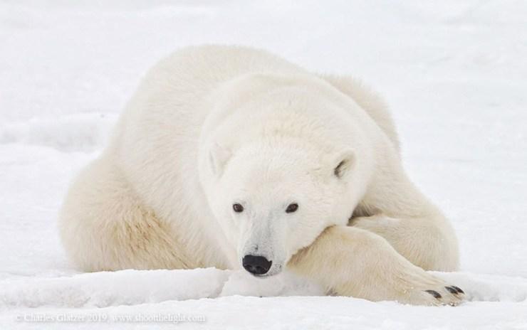 Polar bear relaxing at Seal River Heritage Lodge. Charles Glatzer photo.
