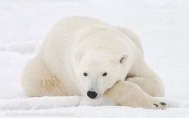 Polar bear relaxing at Seal River Heritage Lodge. Charles Glatzer photo.