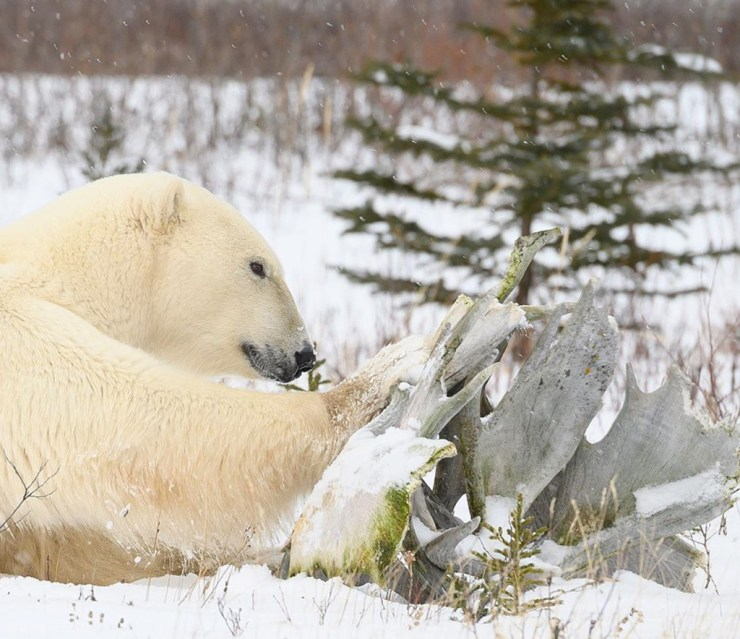 Polar bear playing with antlers. Nanuk Polar Bear Lodge. Jeff McDonald photo.