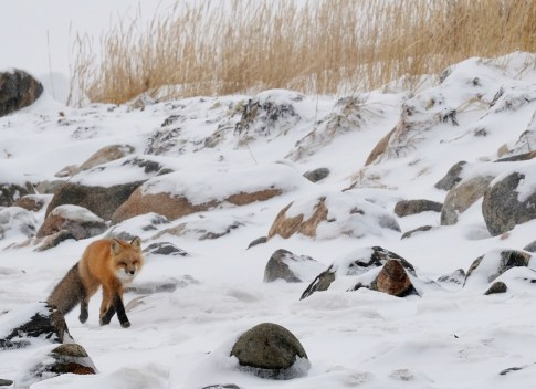 Red fox strolling by Seal River Heritage Lodge. Suzanne Morphet photo.