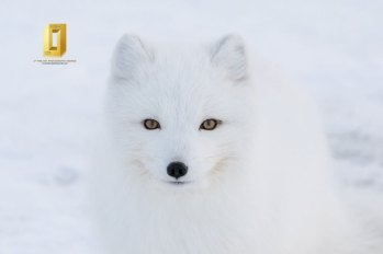Arctic fox. Seal River Heritage Lodge. Anthony Lau photo.