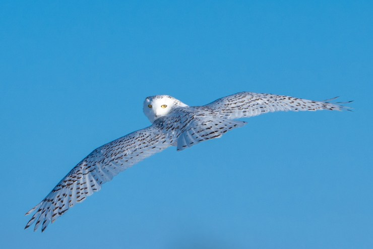 Snowy Owl at Nanuk Polar Bear Lodge. Photo courtesy of ArcticWild.net.