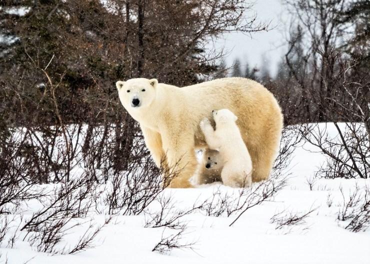 Big healthy mom and cubs at Nanuk Polar Bear Lodge. Virginia Huang photo.
