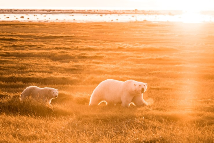 Polar bear mom and cub in late afternoon sun at Nanuk Polar Bear Lodge. Jad Davenport photo.