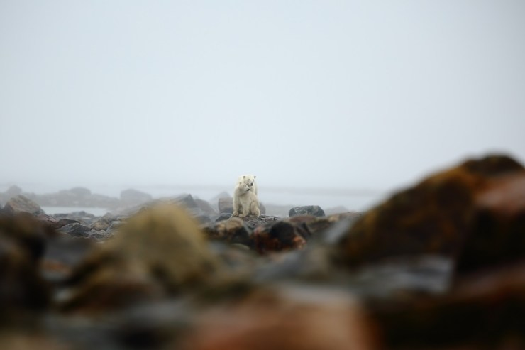 Tender moment between polar bear mom and cubs on the rocks at Seal River Heritage Lodge. Christopher Scully.