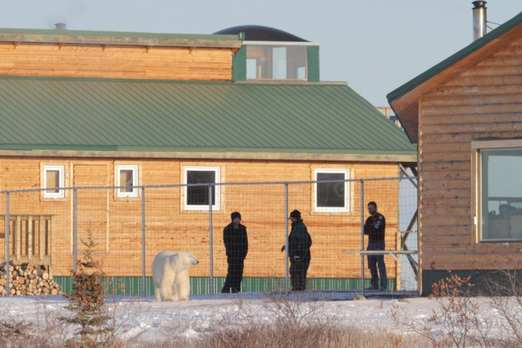 Polar bear outside new fenced-in compound at Dymond Lake Ecolodge. Dafna Bennun photo.