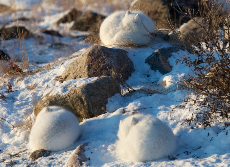 Arctic foxes curled up and warm at Seal River. Lydia Attinger photo.