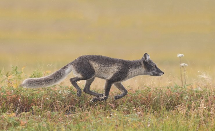 Cross fox on the move at Nanuk. Charles Glatzer photo.