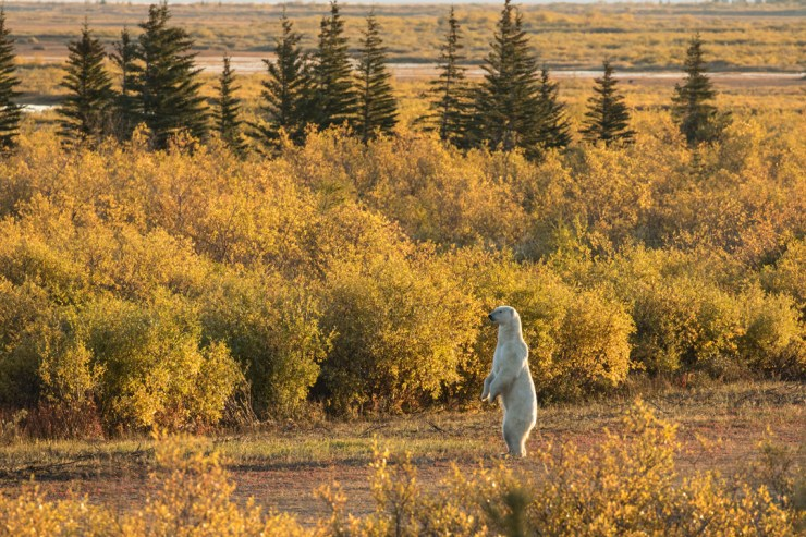 Polar bear surveys his earthly domain at Nanuk Polar Bear Lodge. Susan Jenkins photo.