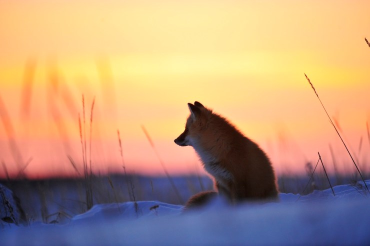 Red fox at sunset. Nanuk Polar Bear Lodge. Ian Johnson photo.