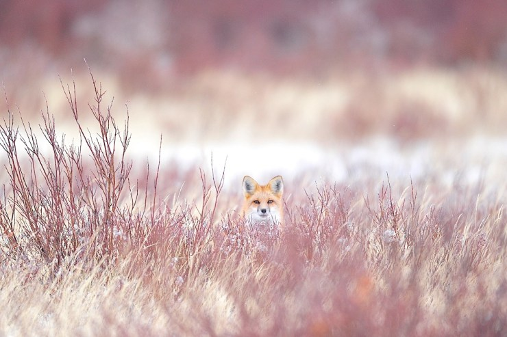 Red fox. Nanuk Polar Bear Lodge. Ian Johnson photo.
