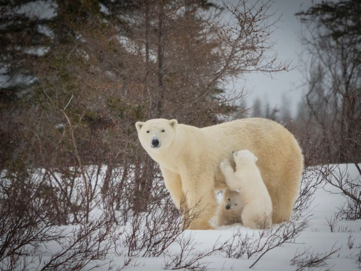 Mom with 12-week old polar bear cubs at Nanuk Polar Bear Lodge. Virginia Huang photo.