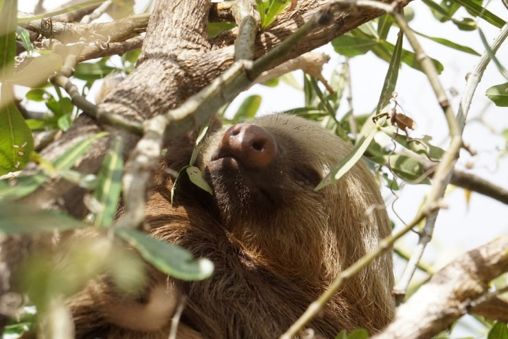 My spirit animal. A wild sloth. Vanessa Desorcy photo.