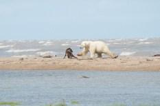 Polar bear and wolf fight on the beach at Nanuk Polar Bear Lodge. Anne Bastien photo.